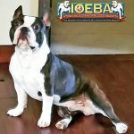 Olde Boston Bulldogge