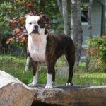 Valley Bulldog