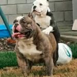 Bantam Bulldogges