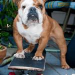 Bantam Bulldogge