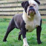 olde_english_bulldogge_1