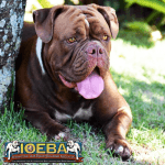 Olde English Bulldogge